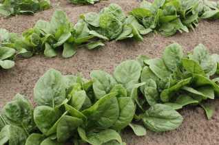 Чем полезен шпинат для пищеварительной системы?