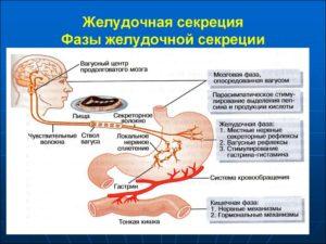 Секретная функция желудка
