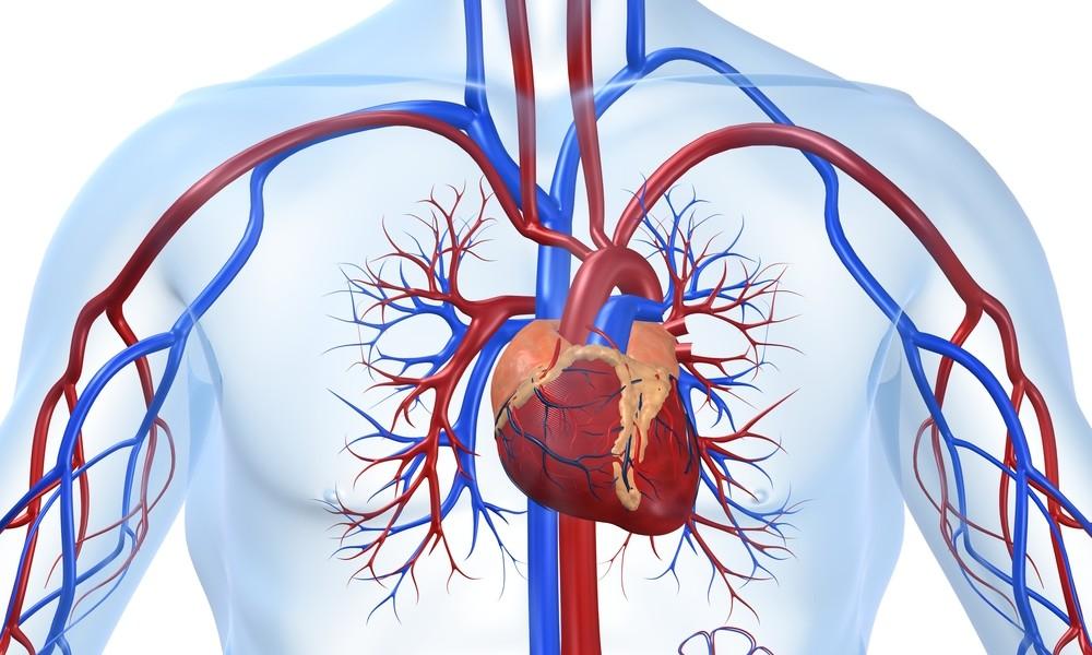 Благотворно воздействует на сердце и сосуды