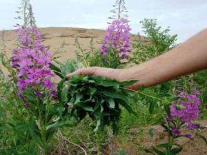 Собирают иван-чай во время цветения, до образования бобов